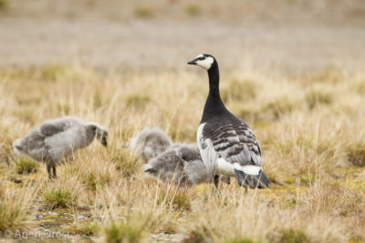 A Barnacle Goose family on the tundra