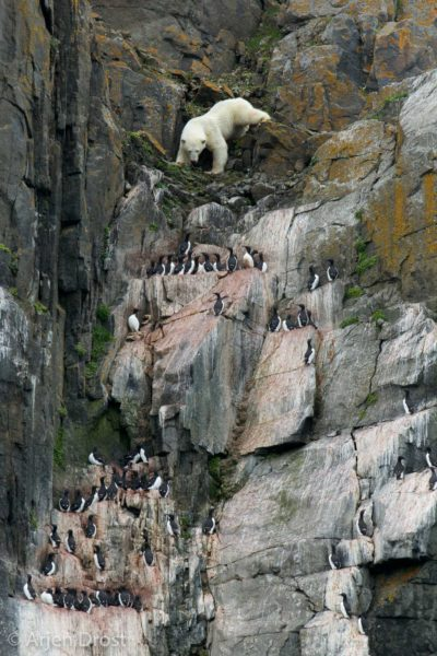 The bear who dared - Polar Bear climbing down a bird cliff in search for food
