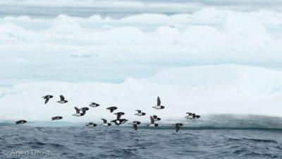 Little Auks and Black Guillemot along the pack ice
