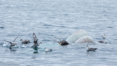 A Walrus and Northern Fulmars feeding off a dead Minke Whale