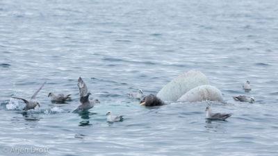 A Walrus and Northern Fulmars feeding off a dead Minke Whale