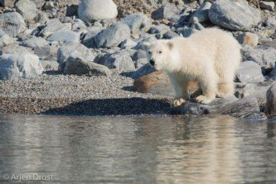 A curious Polar Bear cub