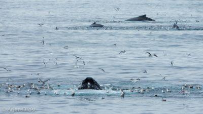 Bubblenetting Humpback Whales