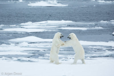 Play-fighting Polar Bears