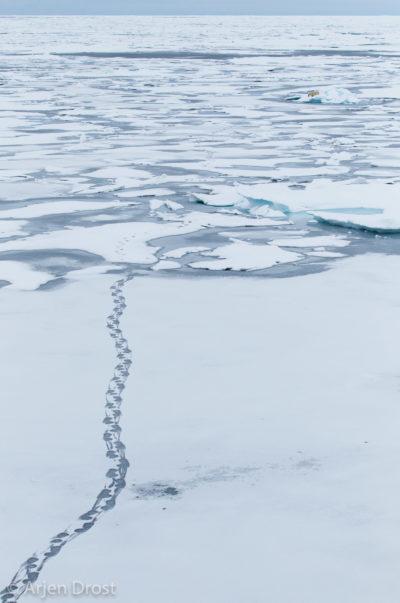 Tracks on the ice and resting Polar Bear