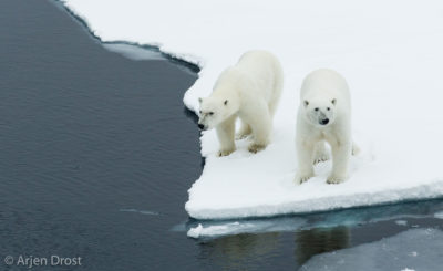 Polar Bear brothers