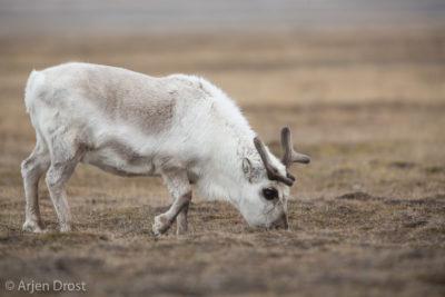 Spitsbergen Reindeer in spring