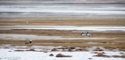 Two King Eider and two Barnacle Geese on the tundra