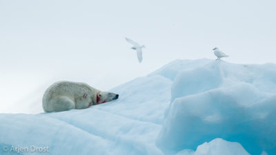 An injured Polar Bear with Ivory Gulls