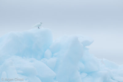 Ivory Gull on an iceberg