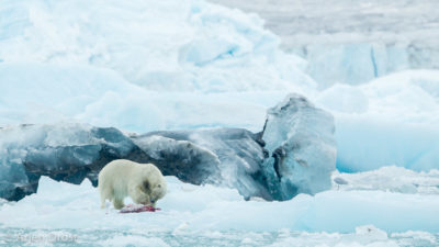 Polar Bear with kill on an iceberg