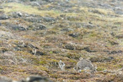 Female and chicks Spitsbergen Ptarmigan