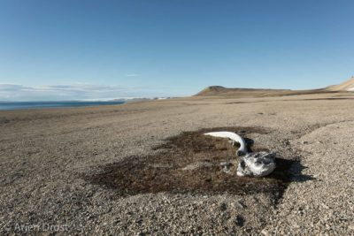 Whale bones in the polar desert of Palanderbukta