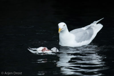 A Glaucous Gull feeding on a dead Thick-billed Murre