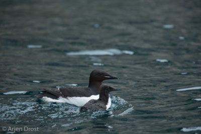 Father and chick Thick-billed Murre