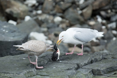 An adult and juvenile Glaucous Gull fight over a dead Thick-billed Murre