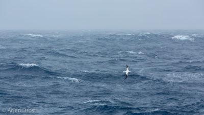 A Wandering Albatross in a stormy Southern Ocean
