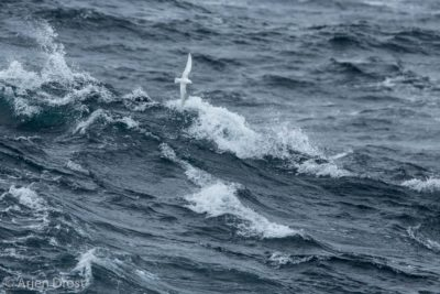 A Snow Petrel in a stormy sea