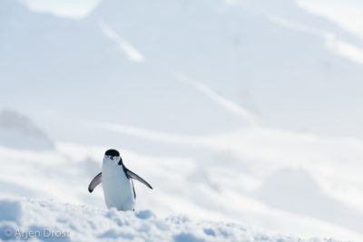 Chinstrap Penguin in the snow