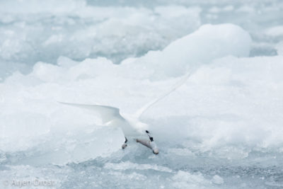 A Snow Petrel eating an ice fish