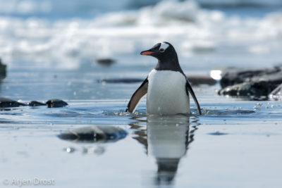 A Gentoo Penguin leaves the water