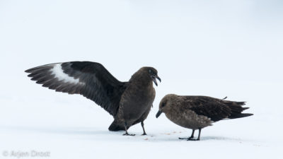 A male Brown Skua impressing a female