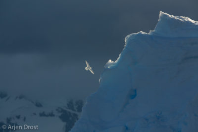 A Snow Petrel in front of an iceberg