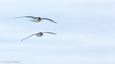 An Antarctic Petrel in flight