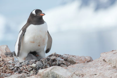 A Gentoo Penguin with chicks on a nest