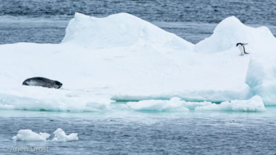 Ross Seal and Adelie Penguin on an iceberg
