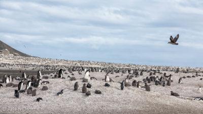 A South Polar Skua flies over the Adelie Penguin Colony of Franklin Island