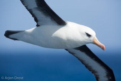 A Campbell Albatross in flight