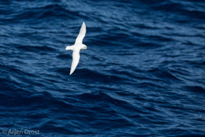 A Greater Snow Petrel in flight