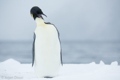 A preening Emperor Penguin on the ice in the Ross Sea