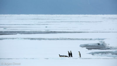 Emperor Penguins on the pack ice