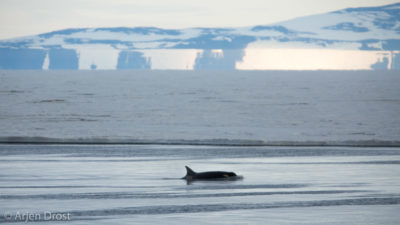 A Ross Sea Orca (type C) along the ice edge