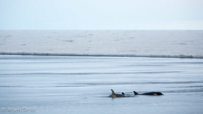 Several Ross Sea Orca's (type C) along the ice edge