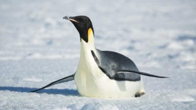 A toboganning Emperor Penguin