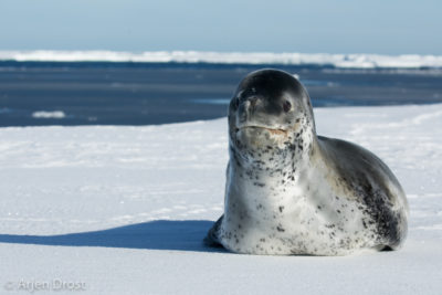 A Leopard Seal on an nice floe