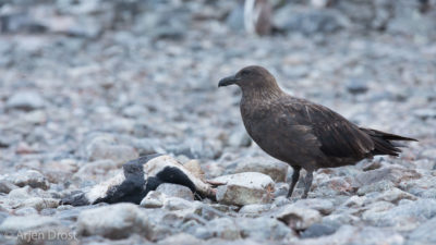 A Brown Skua with the carcass of a Gentoo Penguin