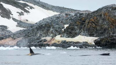 A chance encounter between a Gerlache Orca (type B) and a Humpback Whale