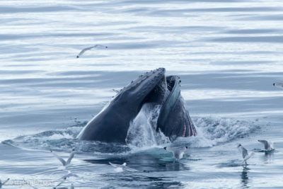 Humpback Whale surfacing