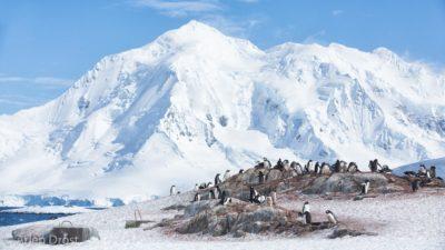 Gentoo Penguins at Jougla Point