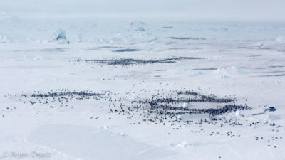 An areal shot from the Emperor Penguin colony at Snow Hill Island