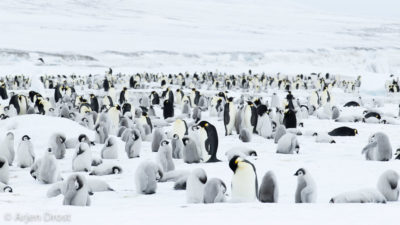 Young and old Emperor Penguins in the colony on the sea ice.