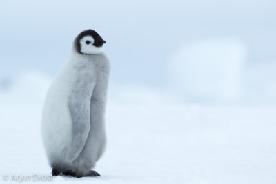 A young Emperor Penguin stands on the sea ice