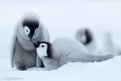 Two young Emperor Penguins on the sea ice.