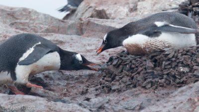 Gentoo Penguin stealing pebbles