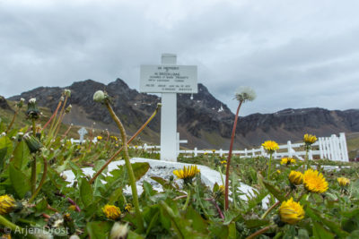 Invasive exotic flowers around the graveyard of Grytviken, South Georgia