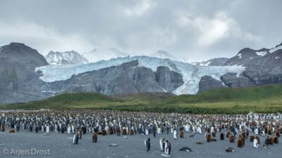 King Penguin colony at Gold Harbour